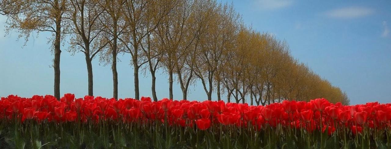 cropped-tulpen-voor-website1